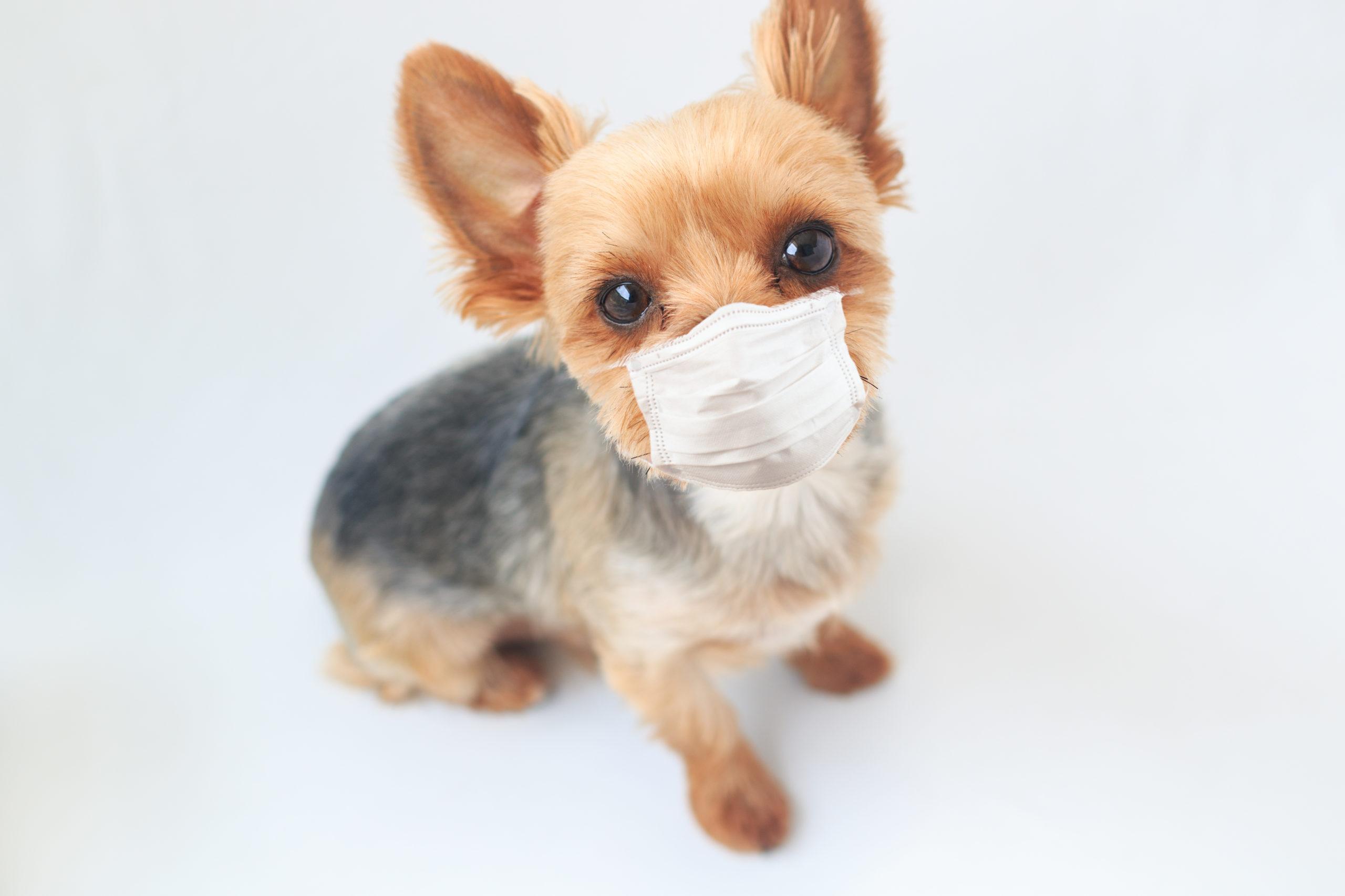 マスクする犬